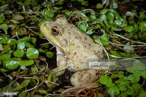 american bullfrog - bullfrog stock pictures, royalty-free photos & images