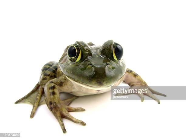 american bullfrog (female) - bullfrog stock pictures, royalty-free photos & images