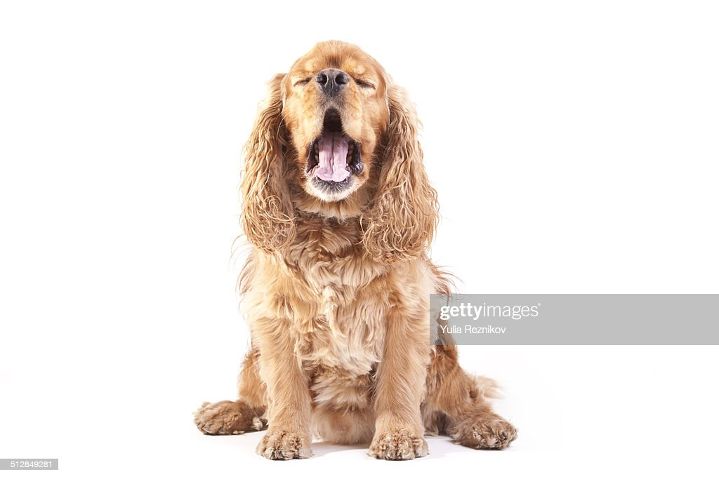 American Cocker Spaniel Dog : Foto de stock