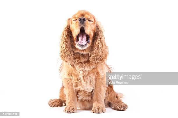 american cocker spaniel dog - cocker spaniel stock photos and pictures