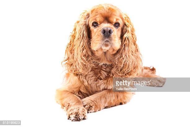 American Cocker Spaniel Dog