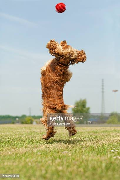 American cocker spaniel dog playing with ball