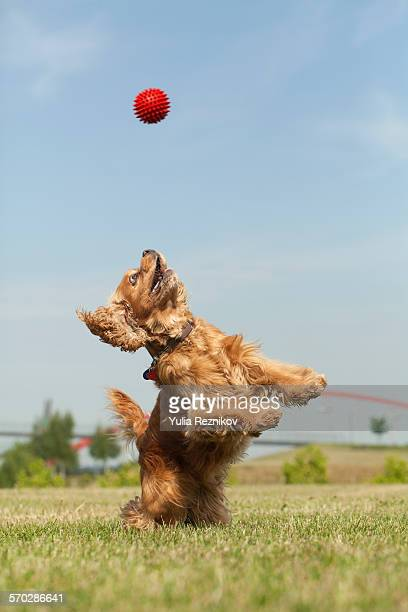 American Cocker Spaniel dog with ball