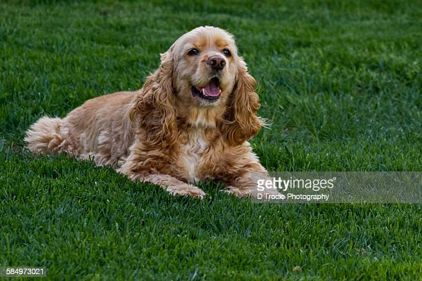 american cocker spaniel laying in green grass - cocker spaniel stock photos and pictures