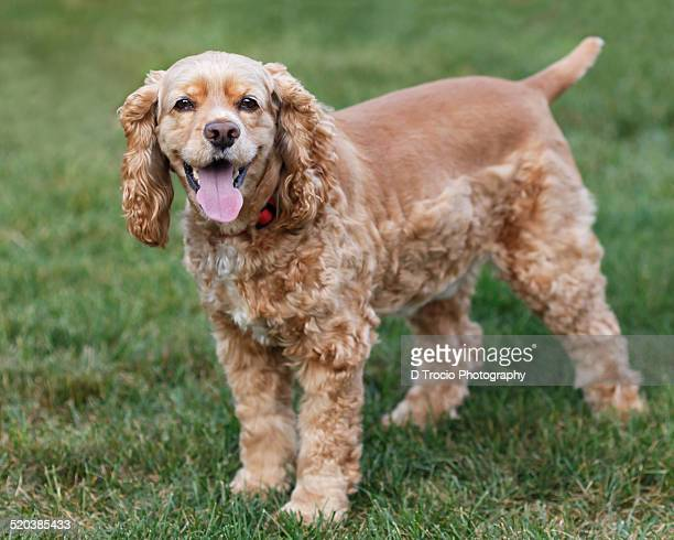 american cocker spaniel - cocker spaniel stock photos and pictures