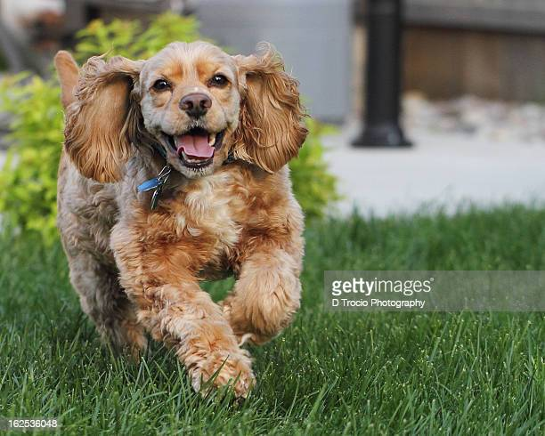 american cocker spaniel running outdoors - cocker spaniel stock photos and pictures