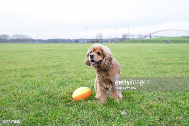 american cocker spaniel with rugby ball - ラグビーボール ストックフォトと画像