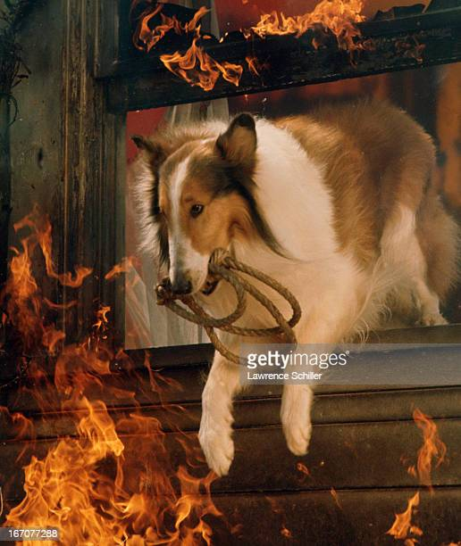 American collie animal actor Lassie jumps through a window the facade of a burning 'house' 1964 The picture taken on a set was taken as part of a...