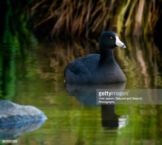 American Coot and Reflection Against Lush Greens at Massapequa