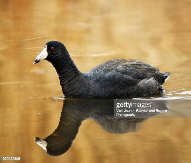 American Coot and Reflection in Golden Water