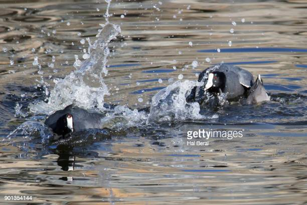 American Coot chasing another