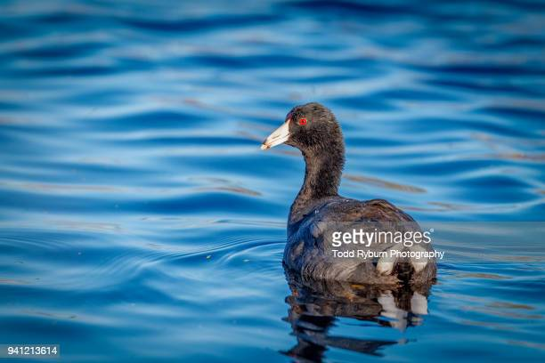 American Coot Floating in a Lake