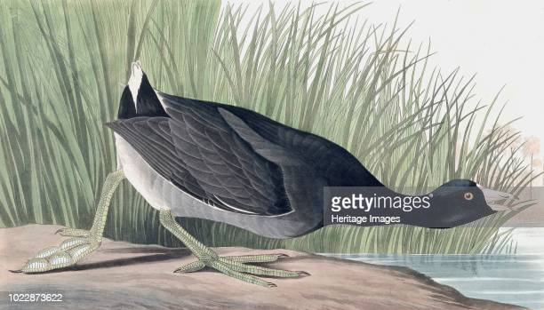 American Coot Fulica Americana From The Birds of America by John J Audubon Pub 18271838