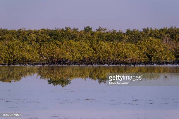 American Coot in large flock on wetlands