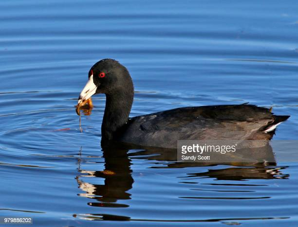 American coot (Fulica americana) in water eating fish