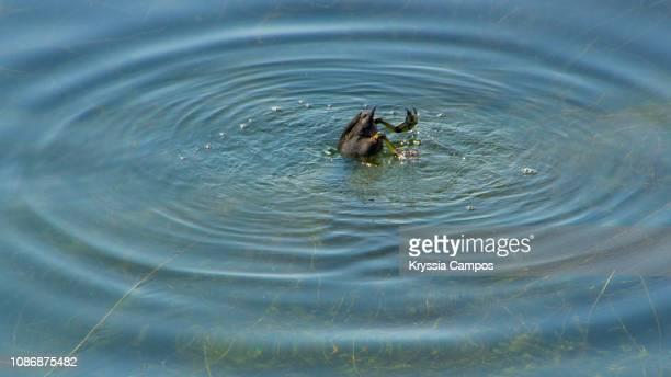 American Coot (Fulica americana) Swimming In Lake