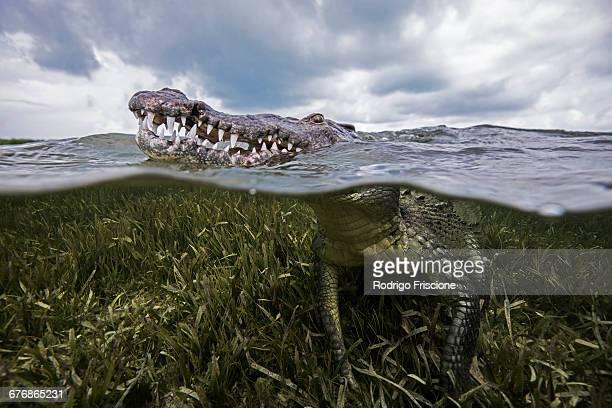 American croc (Crocodylus acutus) at sea surface, Chinchorro Banks, Mexico