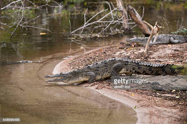American Crocodile at Saltlake Lago Enriquillo Crocodylus acutus Isla Cabritos National Park Dominican Republic