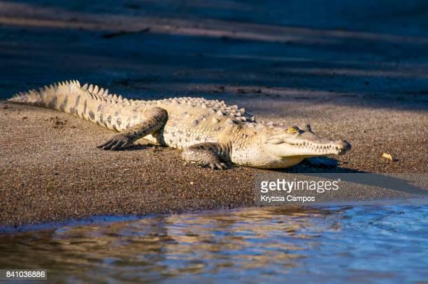 american crocodile (crocodylus acutus), costa rica - crocodile photos et images de collection