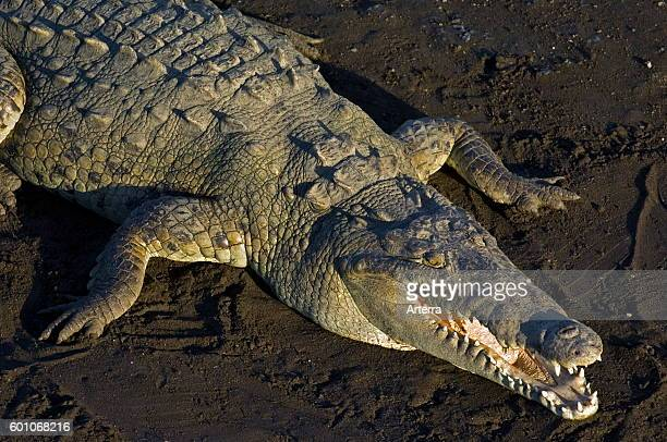 American crocodile resting on riverbank with open mouth gaping to thermoregulate