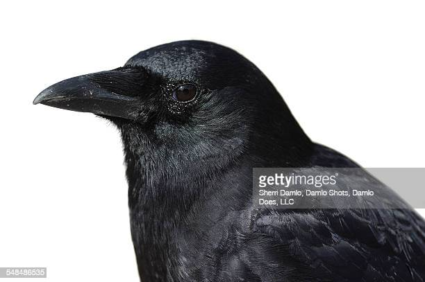 american crow - damlo does stock pictures, royalty-free photos & images