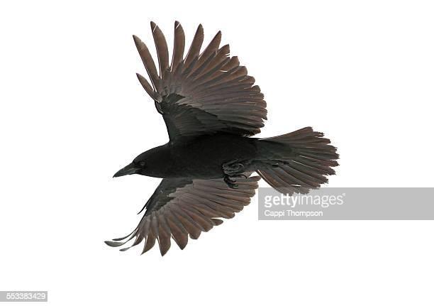 american crow (corvus brachyrhynchos) - crow bird stock photos and pictures