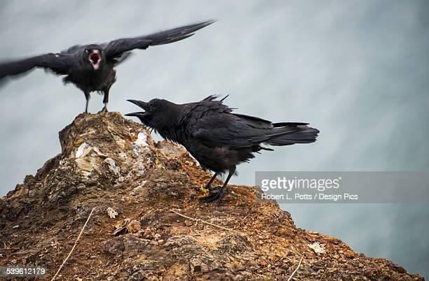 American Crows (Corvus Brachyrhynchos) Express Emotions
