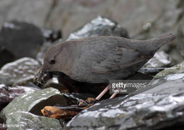 american dipper - bamboo dipper stock photos and pictures