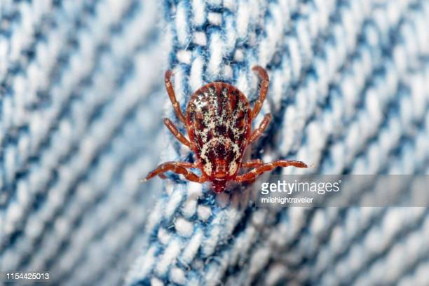 american dog tick on denim jeans cloth denver colorado - dog tick stock pictures, royalty-free photos & images