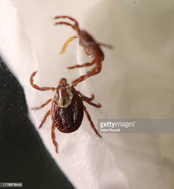 TORONTO ON OCTOBER 29 American dog tick Ticks dont jump or flythey reach out their front legs to hitch a ride on their host Ticks feed with a...