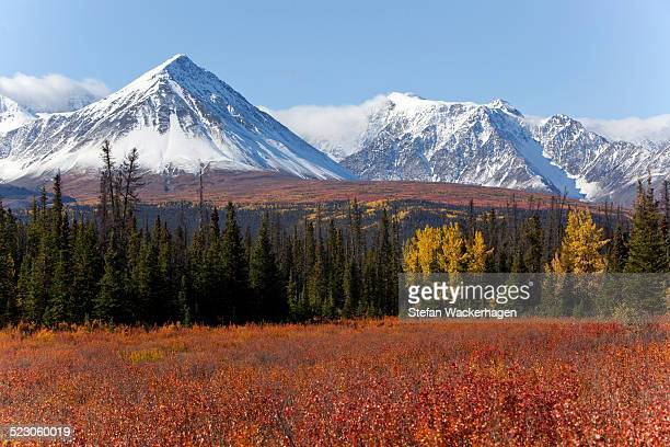 american dwarf birch, resin birch or shrub birch -betula glandulosa- in indian summer, autumn, leaves in fall colours, st. elias mountains, kluane and boundary ranges behind, kluane national park and reserve, yukon territory, canada - nature reserve stock pictures, royalty-free photos & images