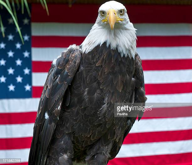 american eagle posing in front of us flag - american flag eagle stock pictures, royalty-free photos & images
