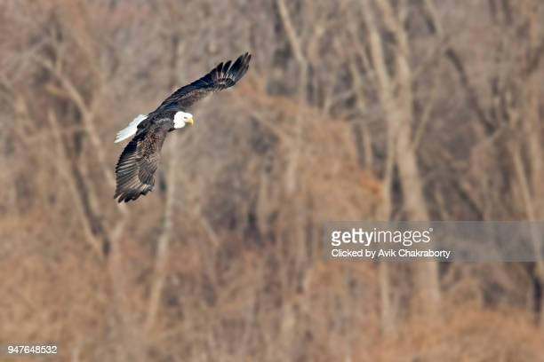 American Eagle soaring over river hunts for fish