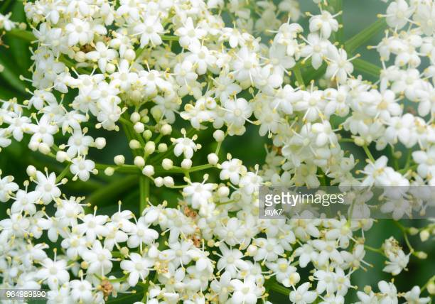 american elder flowers - flowering plant stock pictures, royalty-free photos & images