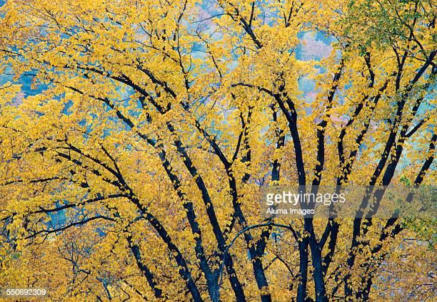 American Elm in autumn