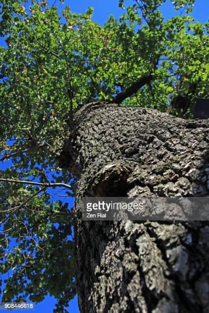 American Elm tree (Ulmus americana) also called White elm or Water elm