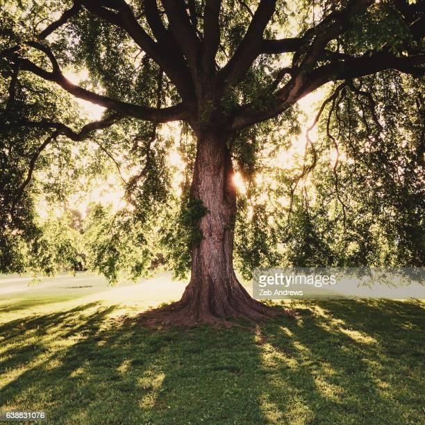 American Elm tree, Overlook Park, Portland, Oregon