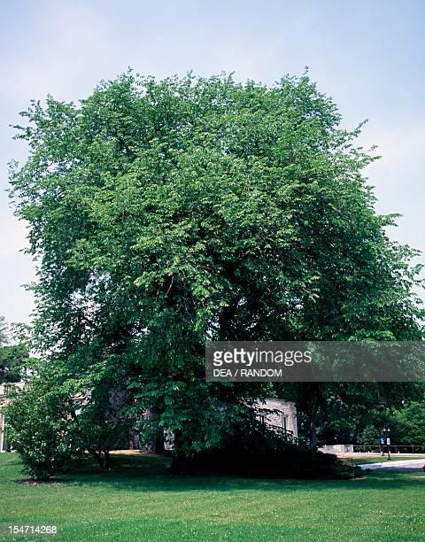 American Elm Ulmaceae