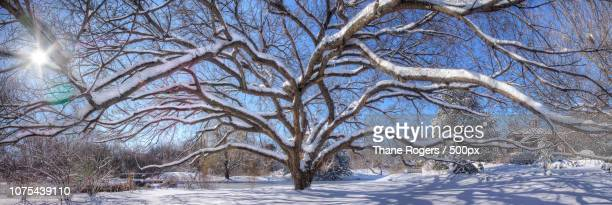 American Elm Winter