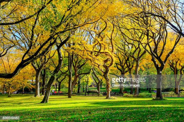 American Elms Central Park