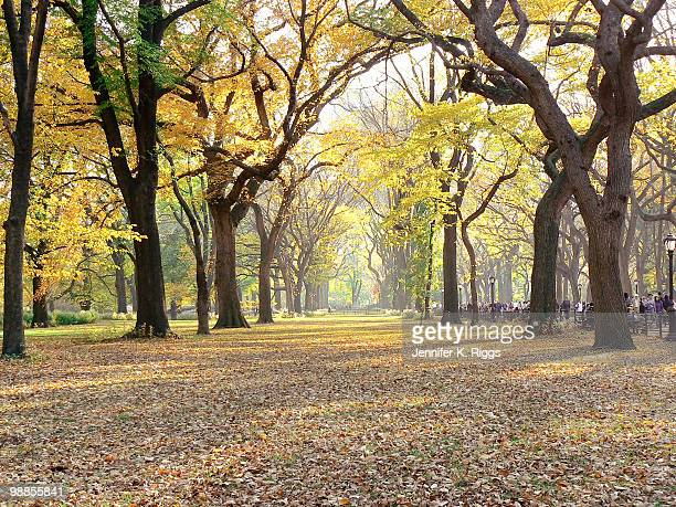 American elms in autumn in Central Park