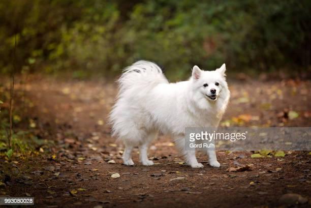 American Eskimo Dog??