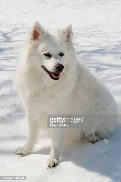 American Eskimo dog sitting on snowy hill, close-up