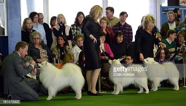 American Eskimo Dog with their handlers during judging at the Westminster Kennel Club Dog Show February 11 2013 in New York AFP PHOTO/Stan HONDA