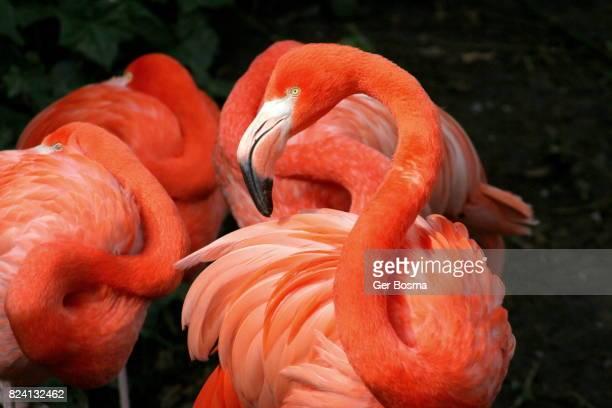 American Flamingo Grace