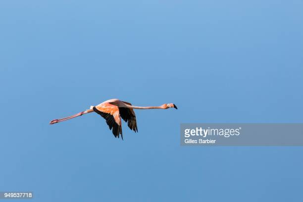 American Flamingo (Phoenicopterus Ruber) in flight, Punta Gallinas, La Guajira, Colombia
