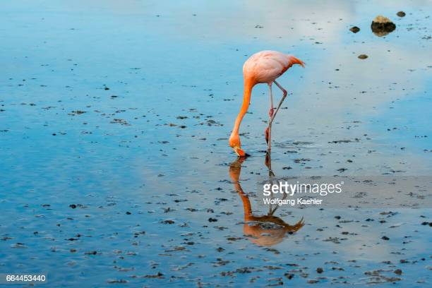 American Flamingo is feeding in the lagoon at Cerro Dragon on the west coast of Santa Cruz Island Galapagos Islands Ecuador