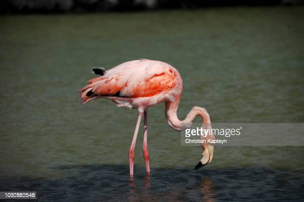 American Flamingo or Caribbean Flamingo (Phoenicopterus ruber), Galapagos Islands, Ecuador