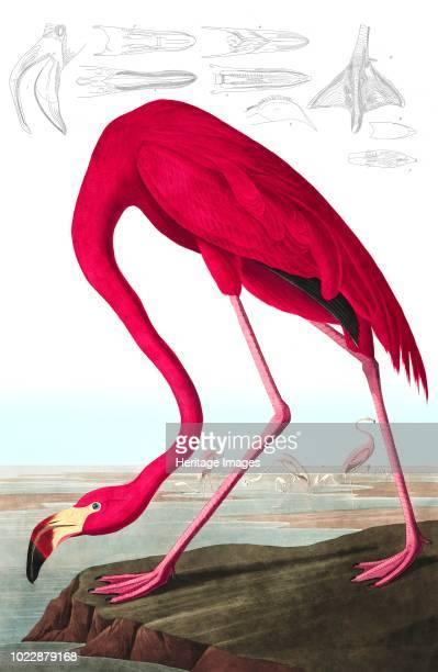 American Flamingo, Phoenicopterus Ruber. From The Birds of America by John J. Audubon. Pub. 1827-1838 .