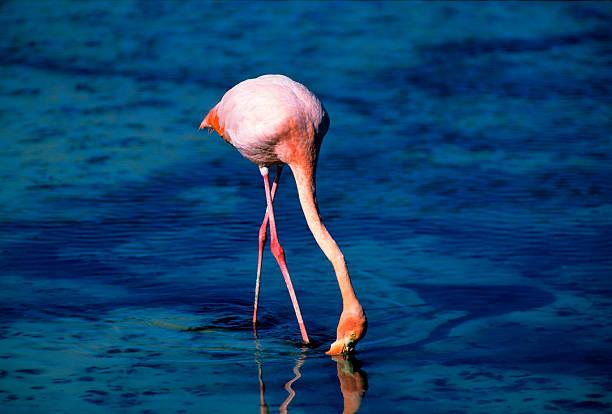 American Flamingo Wall Art